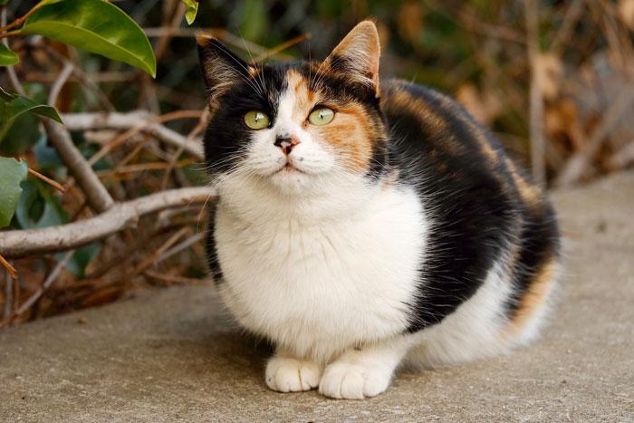 三毛猫とは