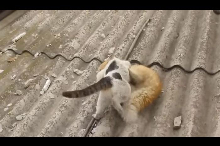 猫のマジ喧嘩を一挙公開!毛が飛び散る。屋根から落ちる。鳥が野次馬になる面白映像あり!