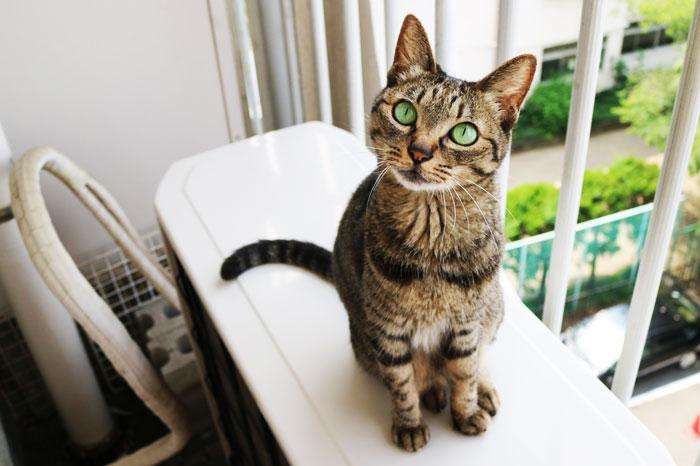 大丈夫と思ってても以外とベランダから転落する猫も多い