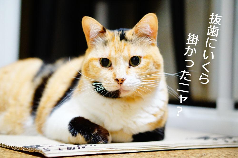 猫の抜歯をする準備と費用について