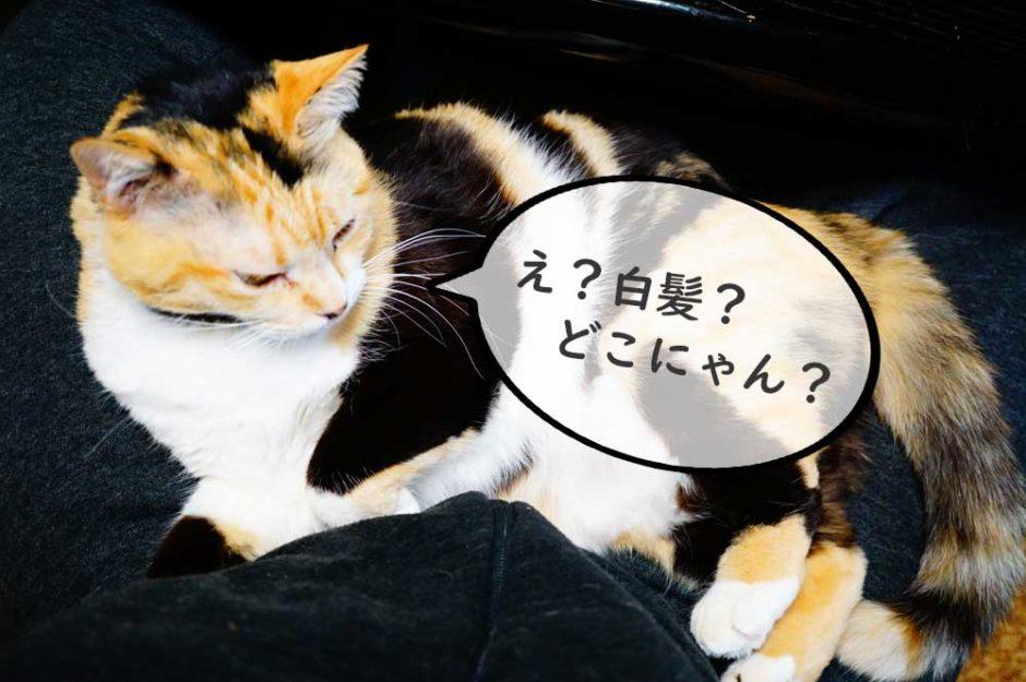 え?タマに白髪?猫って白髪生えるんかい?