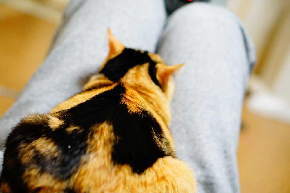 三毛猫 甘えん坊