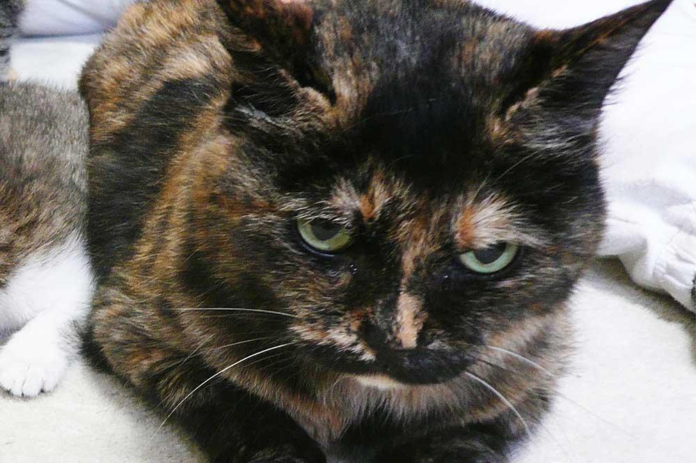サビ猫の性格