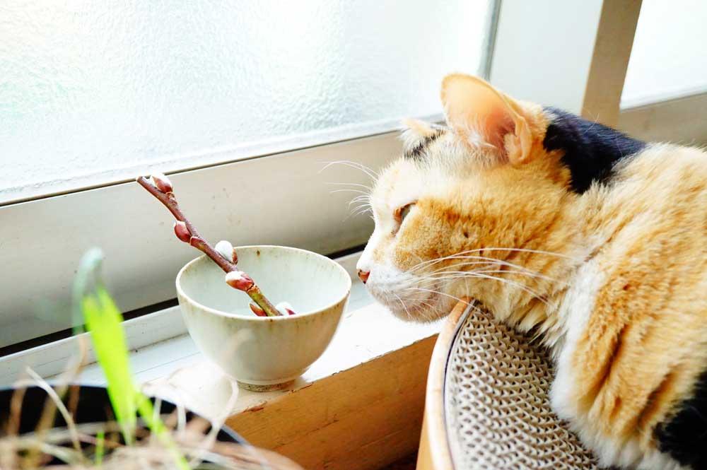 猫柳 鑑賞