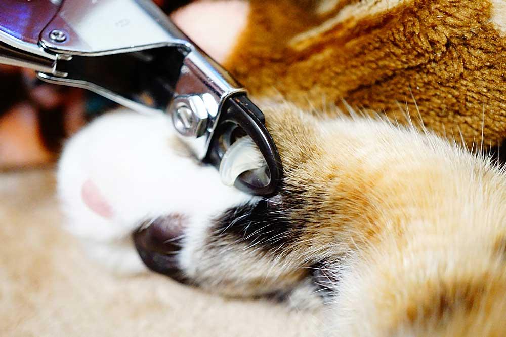 猫に爪切りを慣れさせる方法