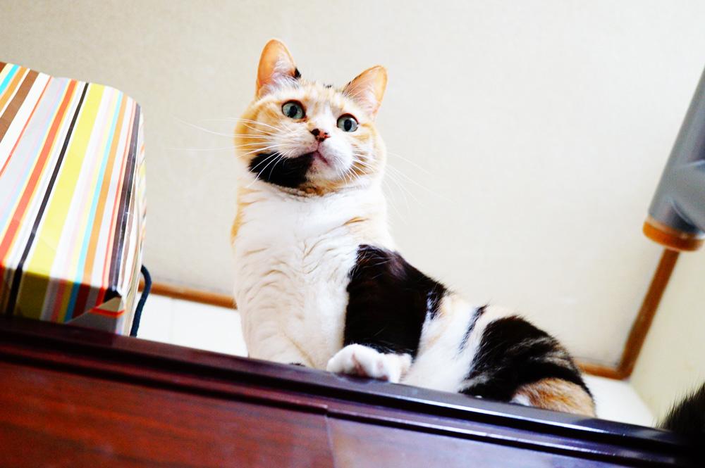 家の中の高さなら猫が飛び降りても問題ないようだが
