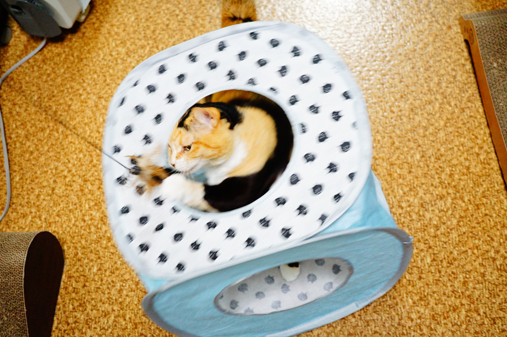 キューブ型キャットテントで猫ウッキウキ