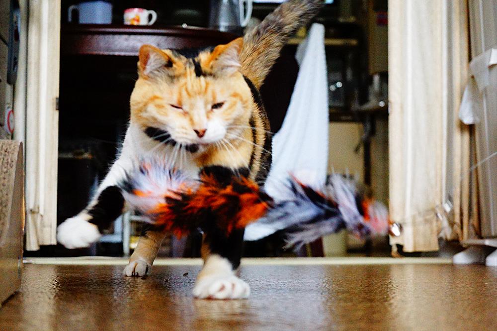 Amazonの猫じゃらしでジャレまくる猫