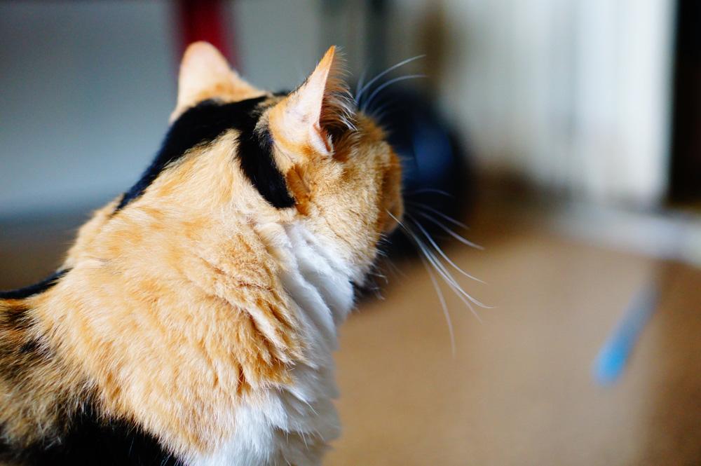 猫撮影 レンズ