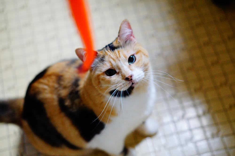 猫を興奮させると瞳孔が大きくなりやすい