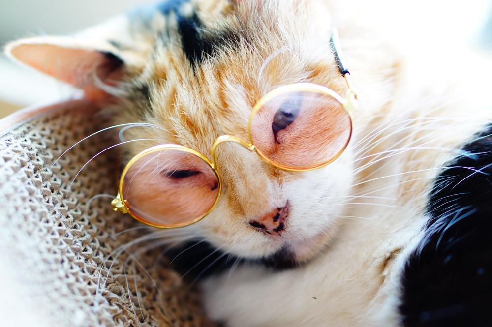 猫にメガネを付けるコツ
