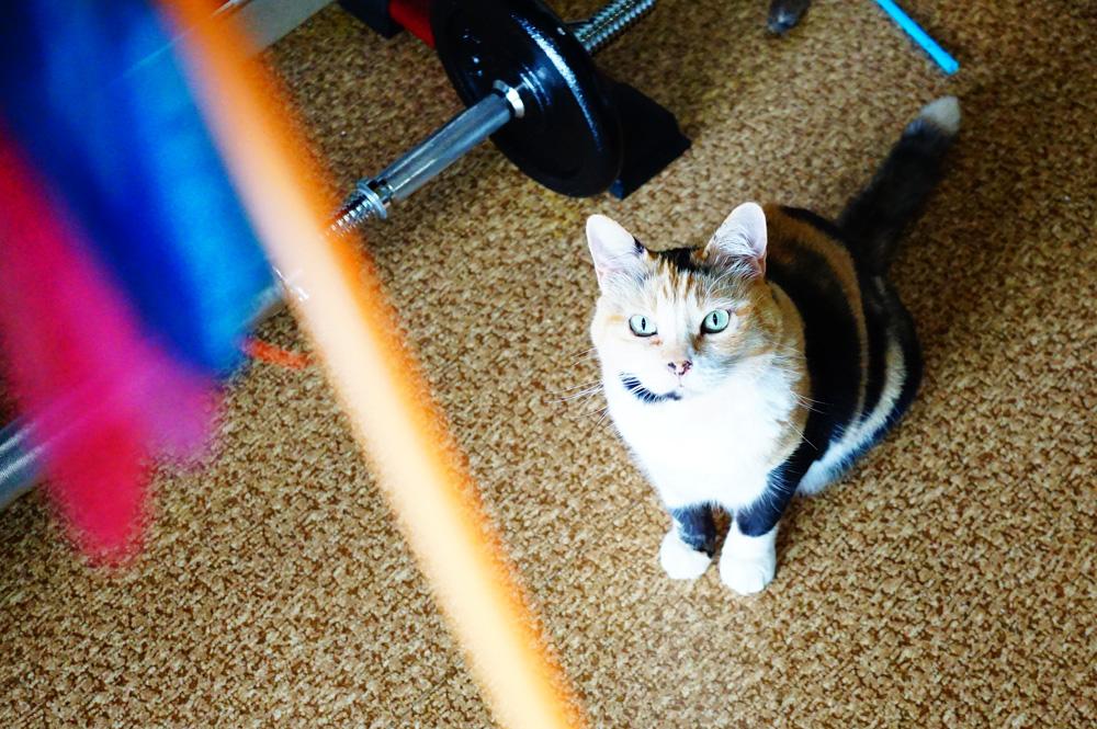 愛猫とカシャカシャブンブンで遊んでみた!