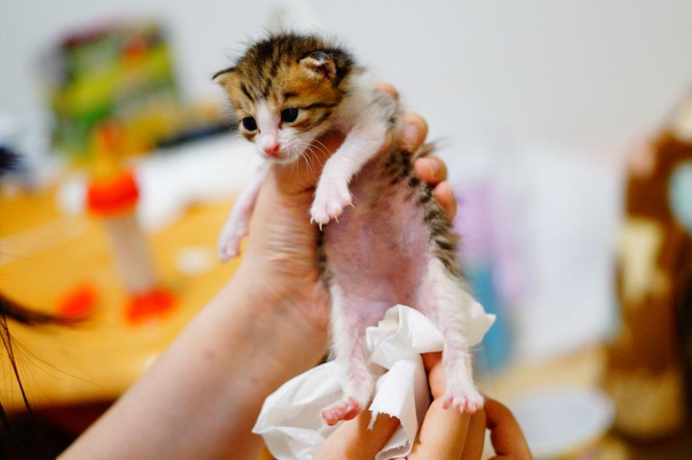 子猫 ウンチとオシッコの排出を手伝う