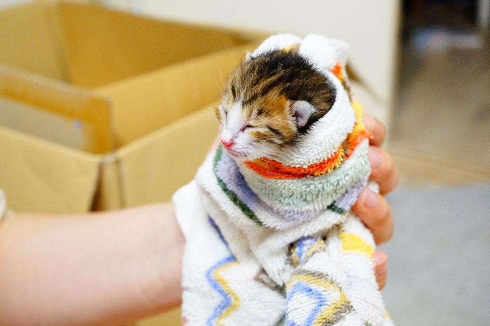 子猫をタオルで包むとミルクを飲ませやすい