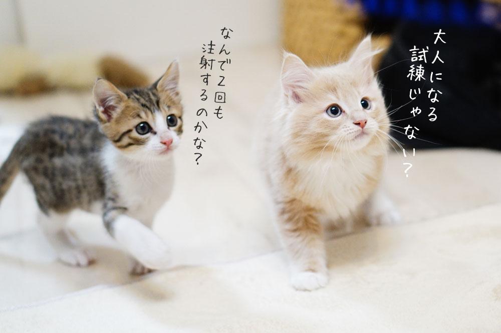 子猫は初年度に2回ワクチンを接種する