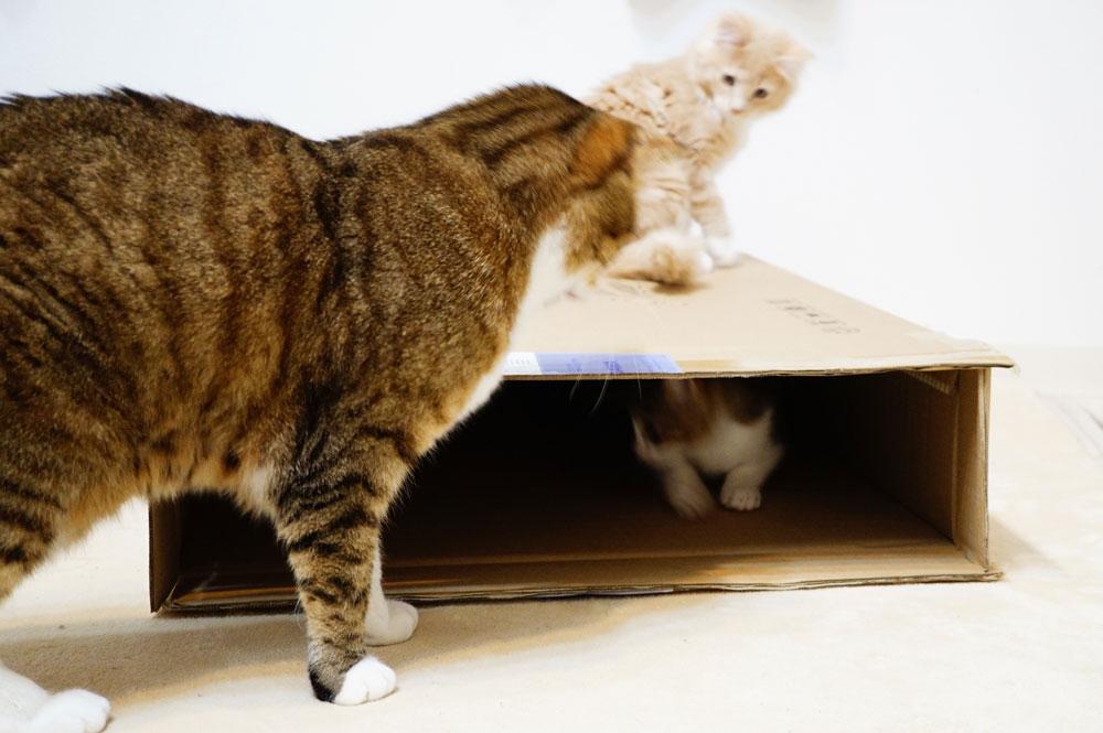 猫 ダンボールが好き
