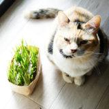 無印の猫草をレビュー!もっと早く買っておけばと後悔するくらい大満足!