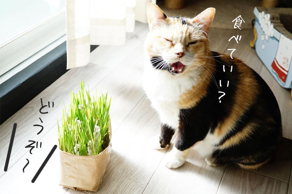 無印良品の猫草栽培キット 育て方