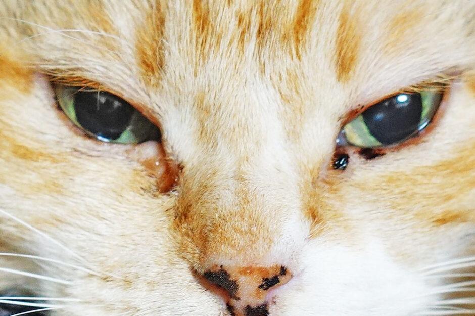 猫の「茶色い目やに」は毎日出ていても大丈夫?どうやったら治るのか?