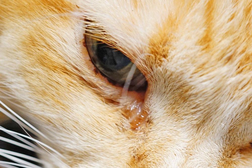 猫 茶色い目ヤニの原因