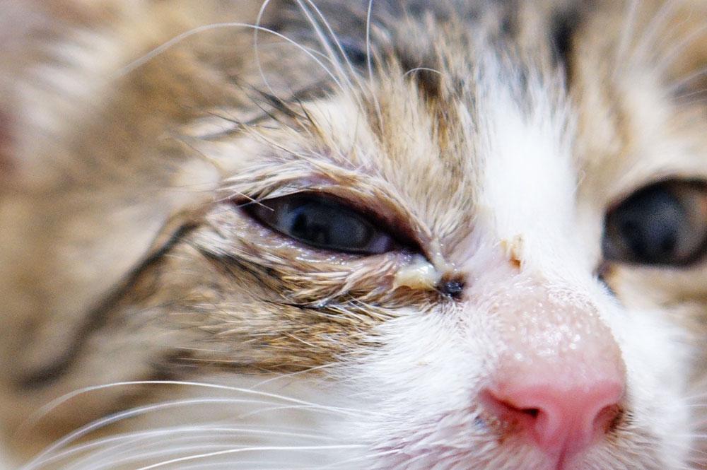 猫 緑色や黄色の目やに