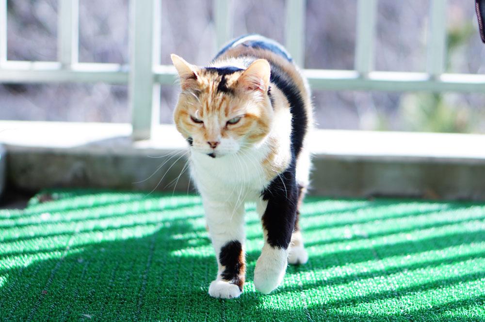 猫 関節炎の症状や兆候について