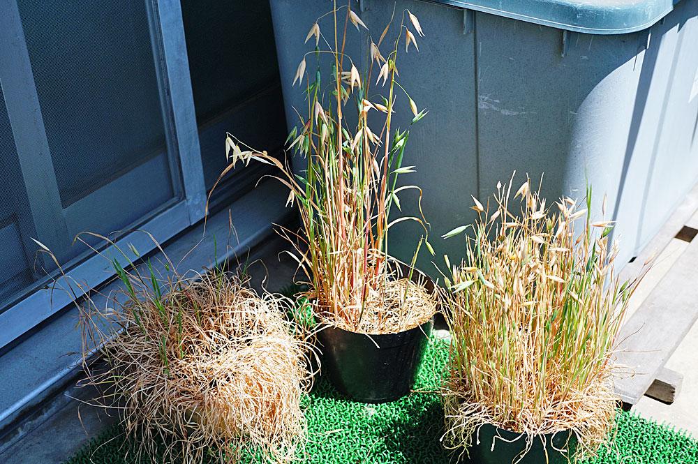 猫草の種を収穫