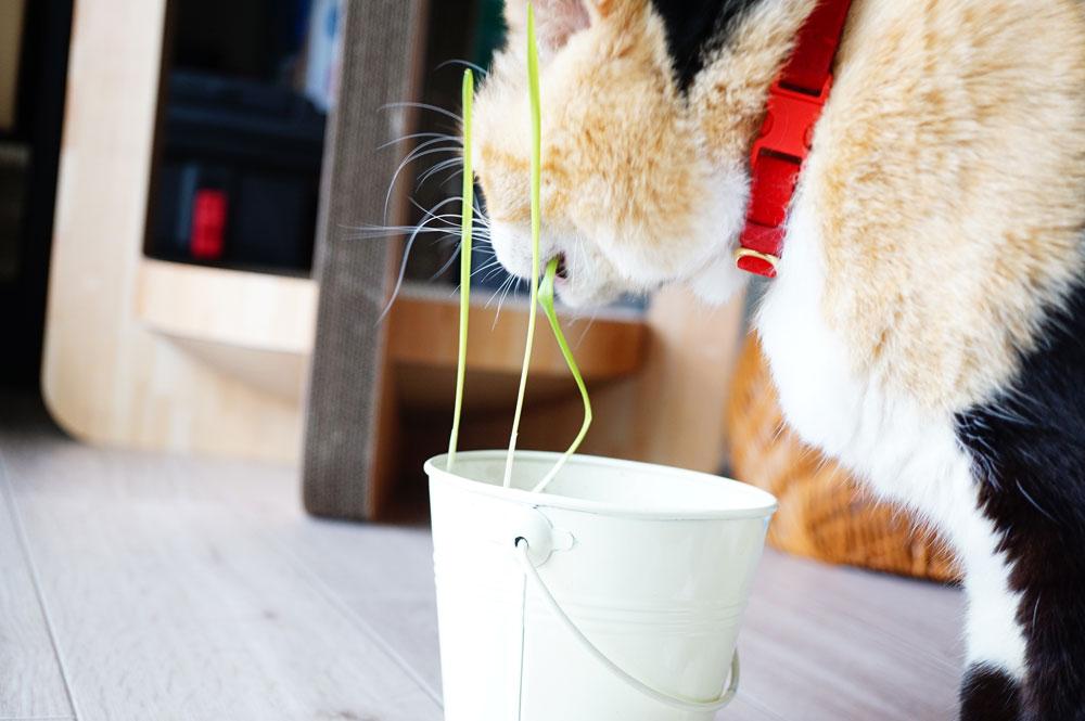 猫草 成長の様子
