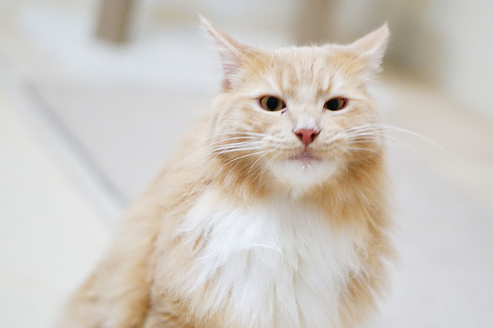 スリッカーブラシは長毛猫におすすめ