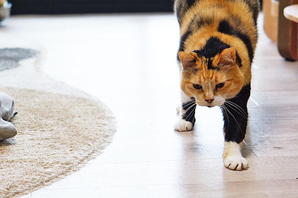 バイオワン「しなやかサポート」 猫 効果