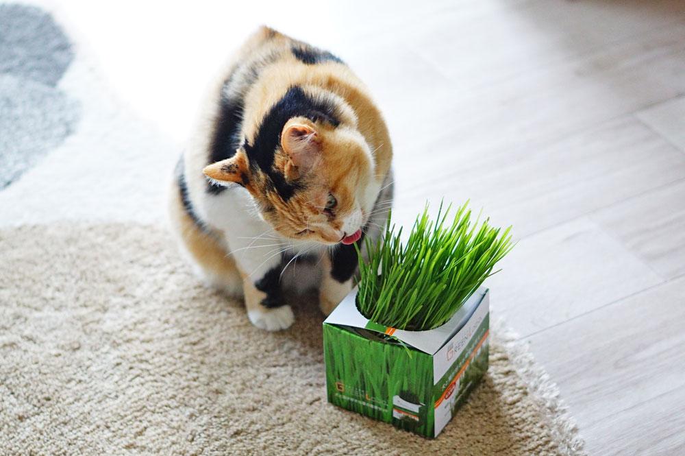 グリーンラボの猫草栽培キットを育ててみた!