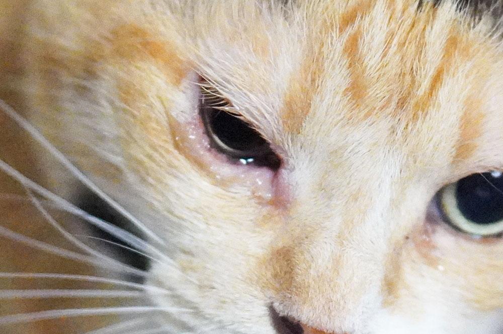 猫が片目だけ涙を流す原因は?